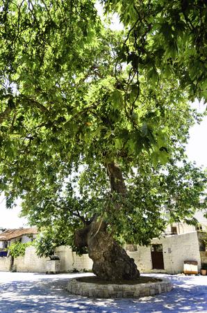 A Plane tree Фото со стока