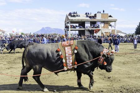 Bull fight at Datca, Turkey