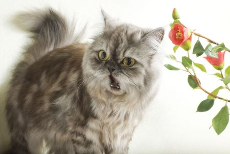 Persian fluffy cat frightened to mew