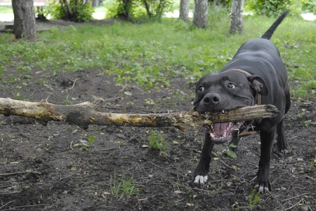 agressive: Dog is pulling stick by powerfull jaw Stock Photo