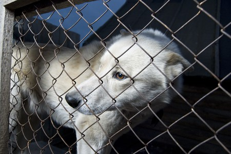 locked up: The wild dog has been caught and locked up in cage of time shelter for animals.