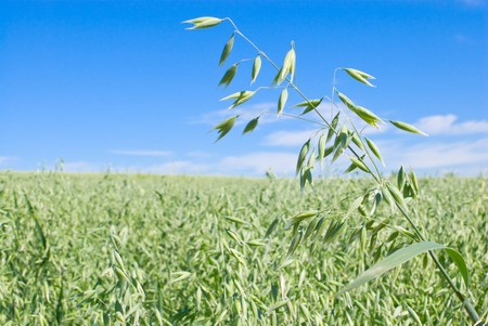 Green oat field and sky with clouds photo