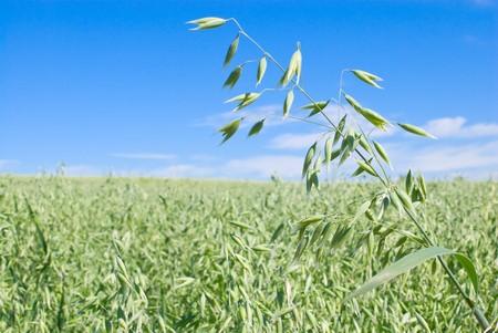 haver veld: Groene haver veld en hemel met wolken