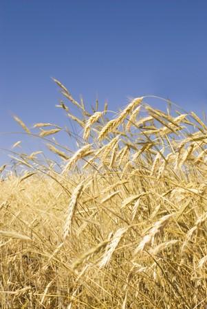 Golden rye field under the summer sun Stock Photo - 7494231