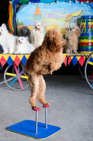 performing: Small red poodle is standing on his back paws. Retro carriage and group of dogs at the background Stock Photo