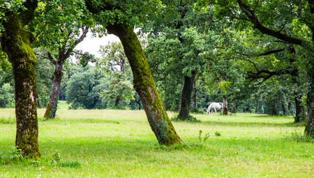 lipizzan horse: A Lipizzaner horse in the meadow of Slovenia