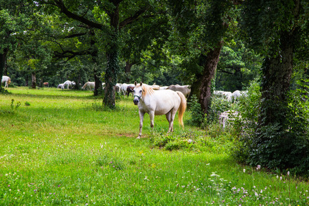 lipizzan horse: Lipizzaner horses in the meadow of Slovenia