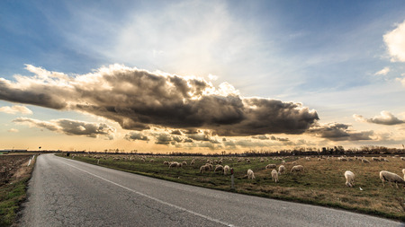 A big flock of sheeps in the italian countryside