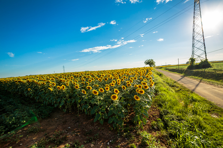 sunflowers field in the countryside of Friuli Venezia-Giulia, Italy Stock Photo