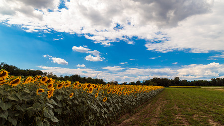 A field of sunflowers in the italian countryside