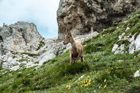 Steinbocks on the Mount Montasio in the Julian alps, in a summer day