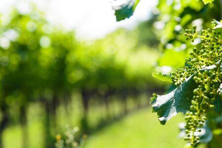 Die Weinberge von Buttrio an einem Sommertag. Collio Friulano, Provinz Udine, Friaul Julisch Venetien, Italien