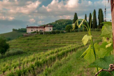 The sun goes down in the vineyards of Friuli-Venezia Giulia, Italy