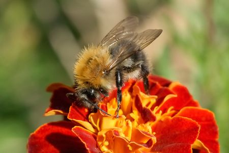Close-up shot of bumblebee on flower  photo