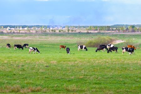Summer landscape with cows  photo
