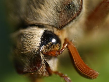 Macro, close-up picture of a chafer eye Stock Photo - 3665083