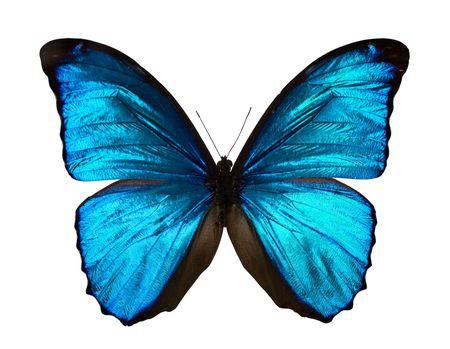 morpho menelaus: Morpho menelaus - mariposa aislado en blanco. Foto de archivo