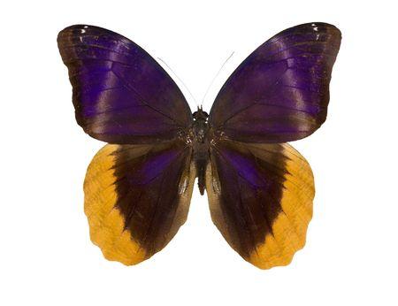 uranus: Caligo uranus - butterfly isolated on white.