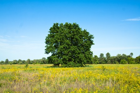 Oak tree in full leaf standing alone in a field in summer against a blue sky. photo