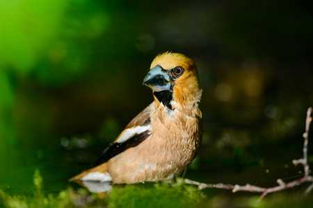 nat: hawfinch is bathed in a puddle of water