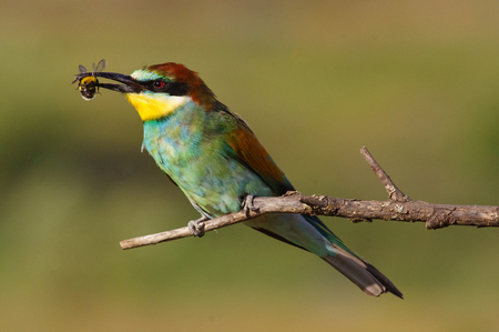 beak: European bee-eater with a bee in a beak on a beautiful background Stock Photo