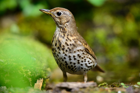 secretive: Song thrush walking on brown ground with grass and a green background.