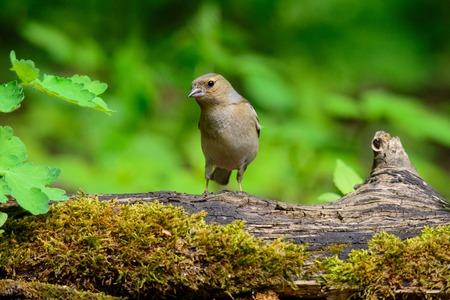 grub: A female Chaffinch eating a freshly caught grub Stock Photo