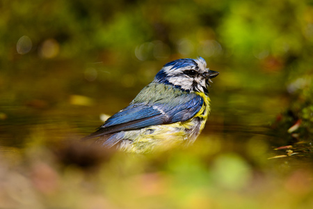 blue tit: beautiful blue tit sitting on a twig