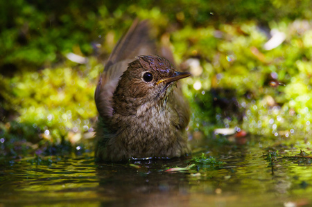 ruise�or: Singing Thrush nightingale Luscinia luscinia against green background.