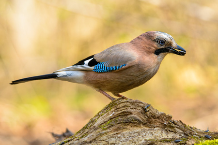 Jay spring sitting on a tree trunk