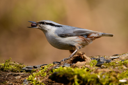 wildanimal: Beautiful Nuthatch perched on a stump with a beige side. Stock Photo