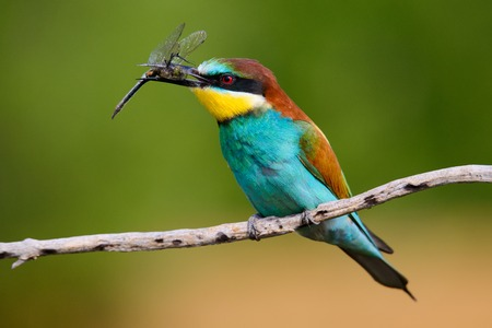 European bee-Eaters, Merops apiaster sits and brags on the good thread, has some insect in its beak during the mating season, the male feeds the female,a nice colorful background and a soft Golden light 版權商用圖片
