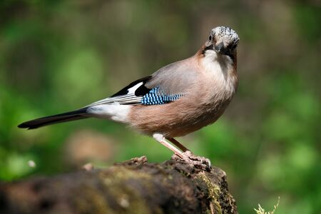 Jay, Garrulus glandarius, a solitary bird on a branch on a spring day