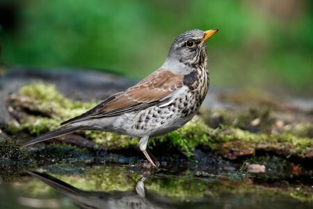 thrush the Fieldfare near the water in spring against the background of greenery vegetation