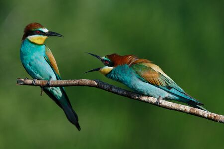 The European bee eater Merops apiaster screams at each other in the early summer morning