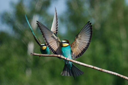 The European bee-Eater comes to land on a branch with another bee-eater on a summer day 스톡 콘텐츠