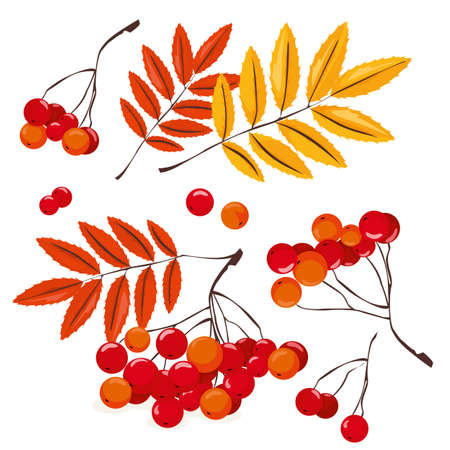 Many red rowan berries with orange and yellow autumn leaves, vector illustration on a white background