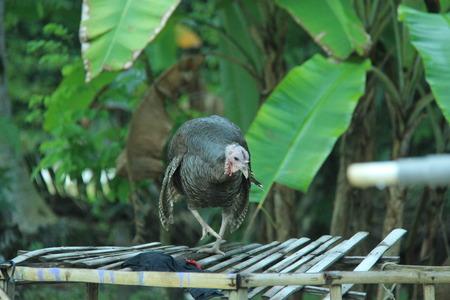 turkey chicken in the yard