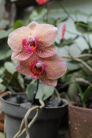 the flower is called orchid (Phalaenopsis amabilis) Stock Photo