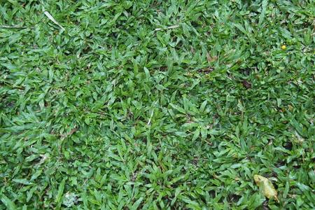 green grass in the yard