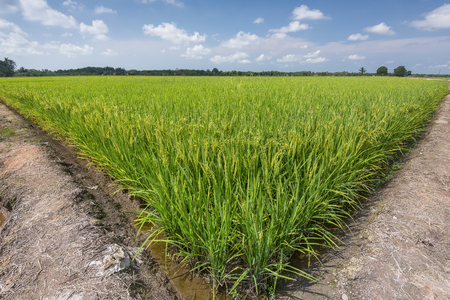 Paddy rice and blue sky