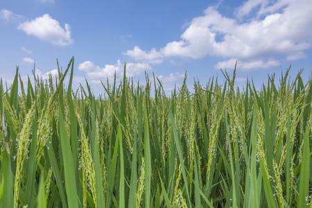 クローズ アップ自然の青空と水田 写真素材