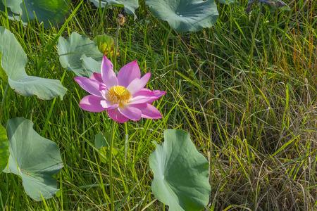 池の美しいピンクのスイレンやロータス花