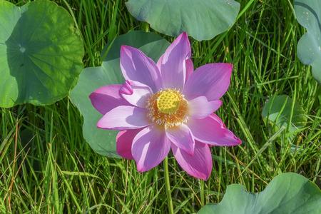 美しく咲く蓮の花のアップします。 写真素材