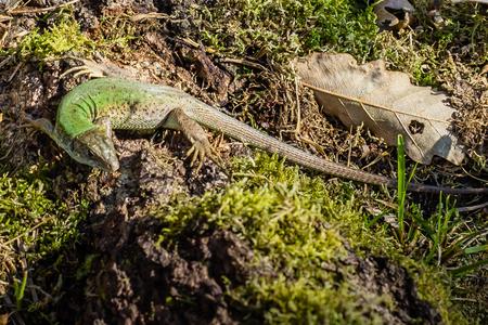 A green lizard in his habitat