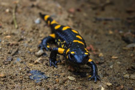 Salamandra de fuego en su entorno natural Foto de archivo