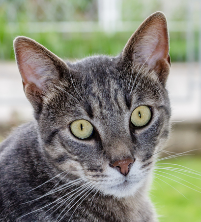 European gray striped cat with green eyes on a blur background