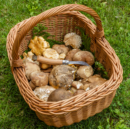 Boletus edulis, cantharellus cibarius mushroom and mushroom knife in a basket on the green grass