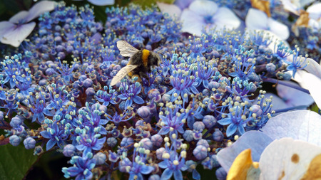 striped bumble bee ,Bombus soroeensis, on a background of blue and dark blue flowers, Hydrangea macrophylla Imagens