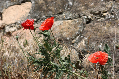 red poppy against a backdrop of stone wall.